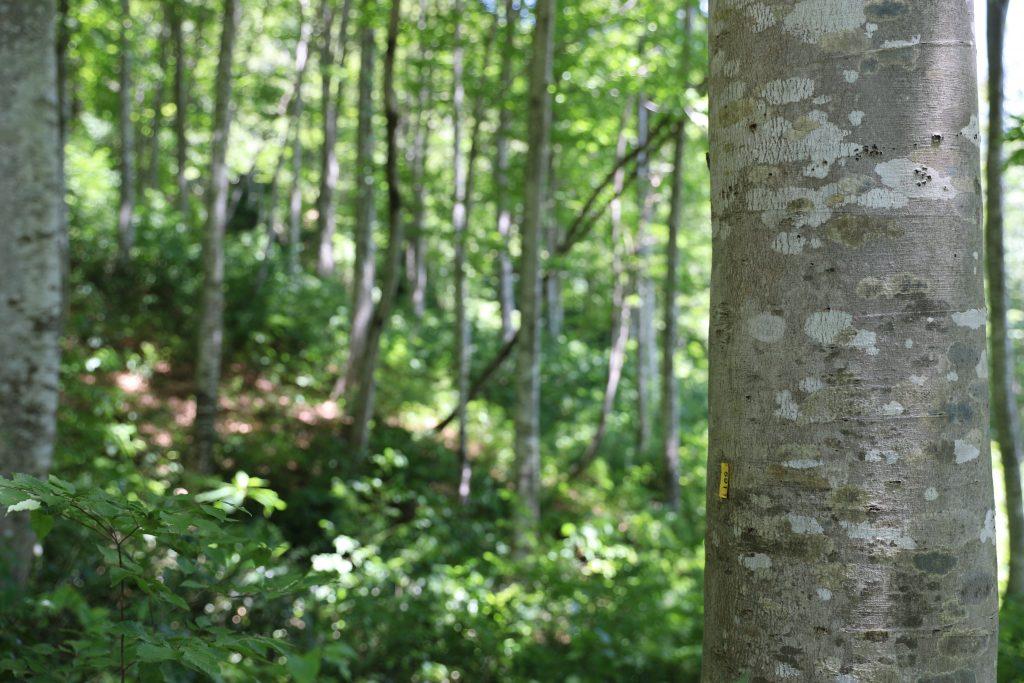 大白川の美人林