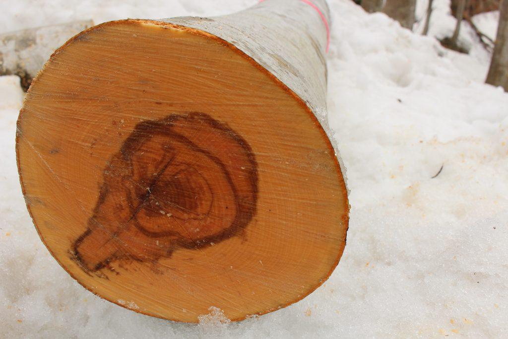 snowbeechの原木
